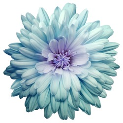 turquoise  chrysanthemum.  Flower on a white isolated background with clipping path.  For design.  Closeup.  Nature.