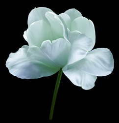 Turquoise flower tulip on black isolated background with clipping path. Close-up.  no shadows. Shot of White Colored. Nature.