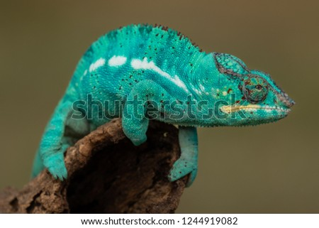 Stock Photo Turquoise green chameleon sitting on a  branch.