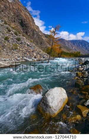 turquoise mountain river both yellow autumn tree and wood (Altai). - stock photo