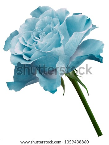 Turquoise  rose.  Flower  on a white isolated background with clipping path. Close-up. no shadows. Shot of  white-turquoise  flower. Nature.