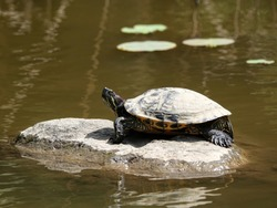 Turtle basking on the rock in fresh water pond of Chinese garden, Taipei, Taiwan.