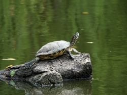Turtle basking on the tree stump in fresh water pond of Chinese garden.