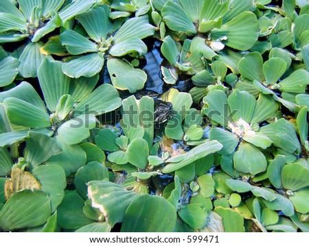 Turtle Between Aquatic Plants Stock Photo 599471 : Shutterstock