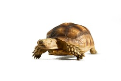 Turtle (Centrochelys sulcata) isolated on white background with clipping path. Turtle shrinking its head
