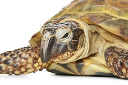 Turtle close-up isolated on a white background