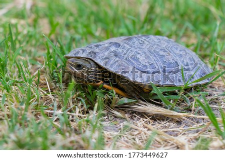Turtle crawling on a green grass. A macro shot of a little turtle