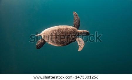 turtle cruising the big blue ocean #1473301256