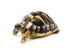Turtle cub isolated on white background
