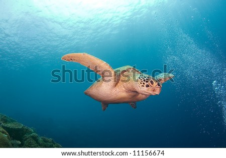 Turtle. Diving on indian ocean