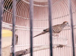 Turtle dove bird on a cage.