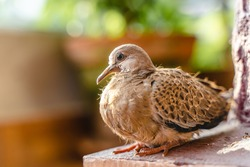 Turtle dove chick close up photo. Small bird sitting on collumn base, stock photo