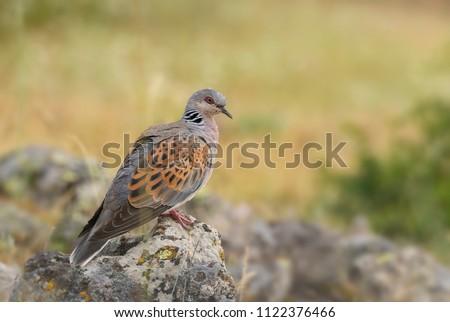 Turtle Dove - Streptopelia turtur, beautiful colorful dove from European woodlands, Eastern Rodope mountains, Bulgaria. Zdjęcia stock ©