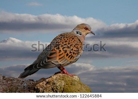 Turtle Doves can be found in Southern and Central Europe. Two Turtle Doves feature in the song 'The Twelve Days of Christmas'. Zdjęcia stock ©