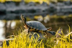 Turtle enjoying the sun sunbathing