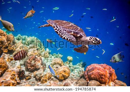 Shutterstock Turtle - Eretmochelys imbricata floats under water. Maldives Indian Ocean.