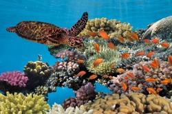 Turtle - Eretmochelys imbricata floats under water. Red Sea, Egypt