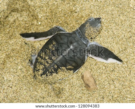turtle give birth and get out from sand