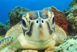 Turtle (Green Sea Turtle)