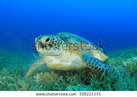 Turtle. (Green Sea Turtle - Chelonia mydas)