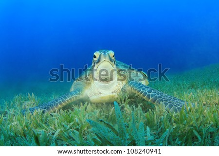 Turtle (Green Turtle - Chelonia mydas)