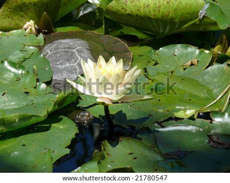 turtle hiding in a lily pond