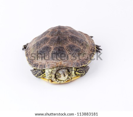 Turtle hiding in shell isolated on white background
