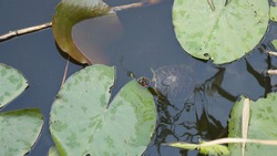 turtle in a swamp among the leaves of water lilies