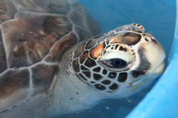 Turtle in the Bora Bora infirmary