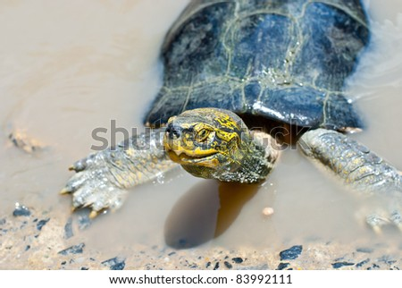 Turtle in the river