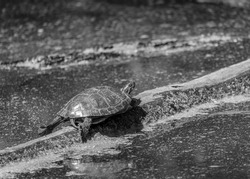 Turtle in the Swamp in Black and White