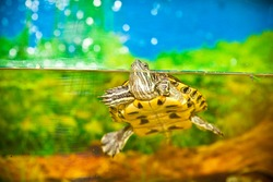 Turtle in the water. Red-eared slider swimming in the water in the aquarium