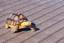 Turtle is walking on the street floor. Sea turtle crawling around the city. Fauna of the Pacific Ocean. Boxing turtle close-up. Concept - sale of feed for home reptiles. Fauna of Japan.