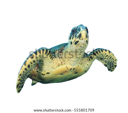 Turtle isolated #555801709