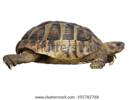 Turtle isolated on white background testudo hermanni, (Herman's Tortoise)