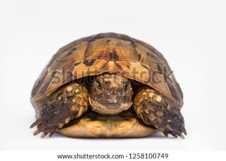 turtle isolated on white background, tortoise isolated gopher