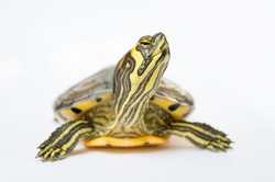 turtle looking up impressed with white background
