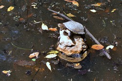 Turtle on stone in pond in midday sun