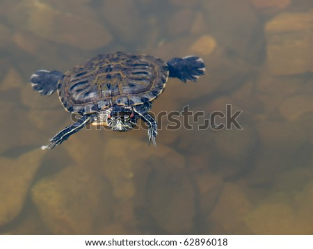 turtle on the water closeup photo shallow dof