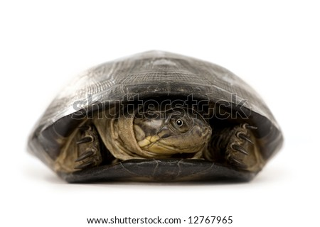 Turtle - pélusios subniger in front of a white background