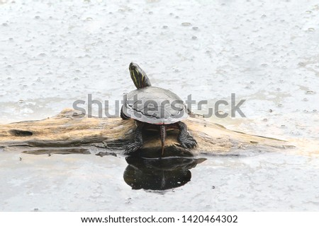Turtle (Red-eared Slider) (trachemys scripta elegans) #1420464302