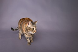 Turtle shell breed house pet cat unsure sneaking looking off camera studio portrait