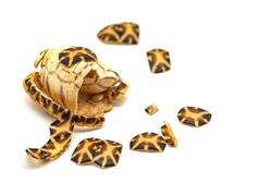 Turtle shell carcass broken on white background. broken shell damaged turtle.