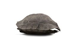 Turtle shell isolated on white background with shadow added