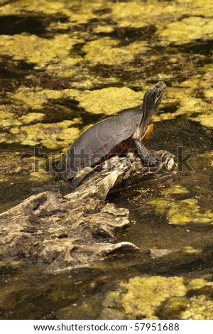 Turtle sitting on a log. Vertical orientation. .