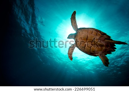 Turtle swiming over divers