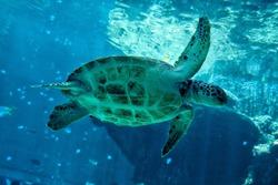 Turtle swimming at Okinawa Churaumi Aquarium , Okinawa island , Japan.