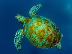 Turtle swimming in blue water of ocean. Philippines.