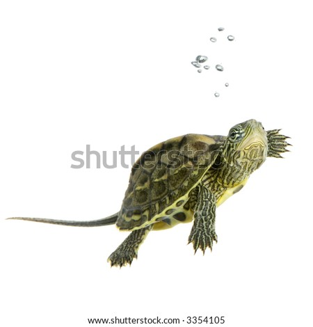 Turtle swimming in front of a white background