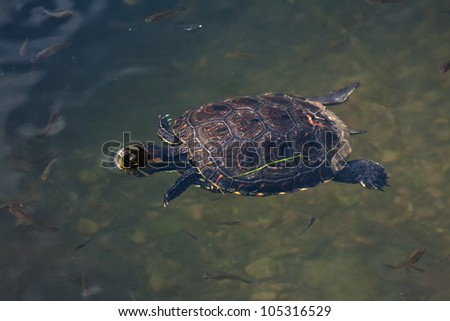 turtle swimming in the Amazon River - stock photo